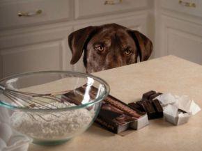 dog-chocolate